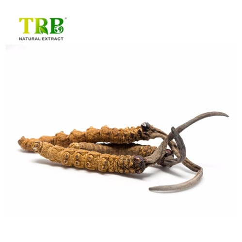 Wholesale Price Herbal Essences Oil - Cordyceps Extract – Tong Rui Bio