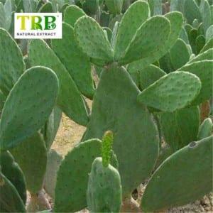 HOODIA Cactus Extract /Cholla Stem Extract