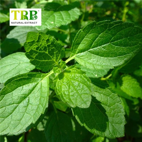 One of Hottest for Total Steroidal Ketone - Lemon Balm Extract – Tong Rui Bio