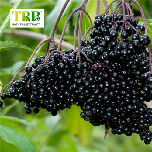 Elderberry Extract Featured Image
