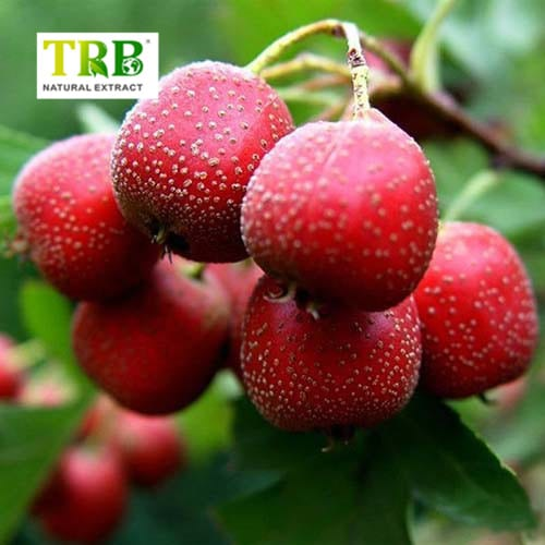 China Factory for Olive Leaf Extract 25 Oleuropein - Hawthorn Berry Extract – Tong Rui Bio