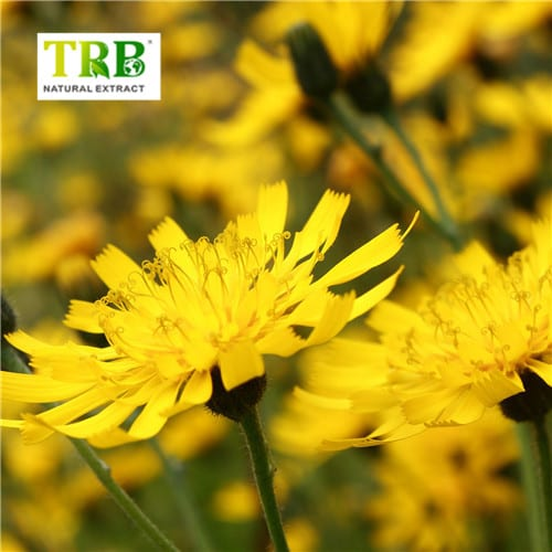 Dandelion Extract Featured Image