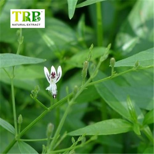 Good Quality Herbal Extract - Andrographis Paniculata Extract – Tong Rui Bio detail pictures