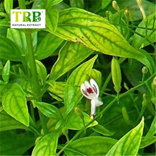 Good Quality Herbal Extract - Andrographis Paniculata Extract – Tong Rui Bio Featured Image