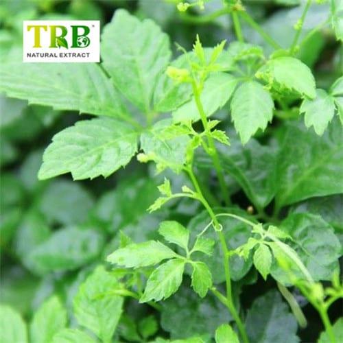 pl18120290-anti_cancer_gynostemma_pentaphyllum_leaf_extract_gynostemma_extract_powder_anti_aging