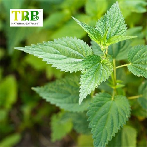 Factory Outlets Anthraquinones - Nettle Extract – Tong Rui Bio