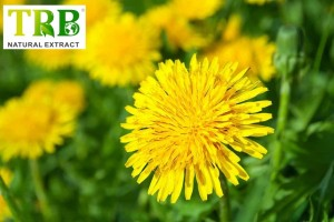 Organic Dandelion Extract 2.0%~3.0%Flavones