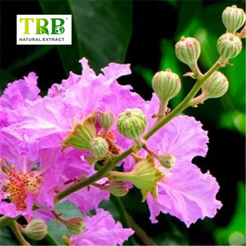 100-Natural-Banaba-Leaf-Extract