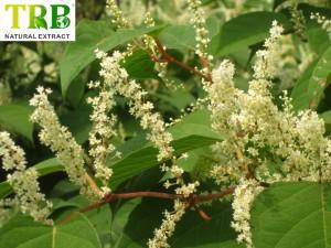 Organic Giant Knotweed Extract 50.0~98.0% Resveratrol